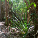 Tropical pandanus and native bush in the conservation corridor